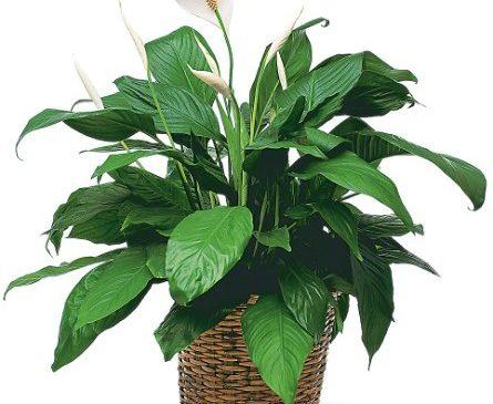 Za 8. mart ženi poklonite ovo cvijeće: Sa njim joj poklanjate sreću