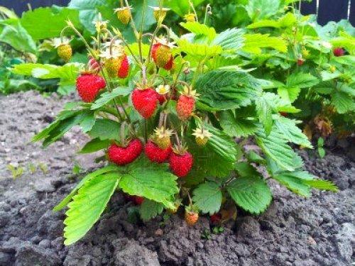 Šumske jagode čiste krv i umiruju nervni sistem